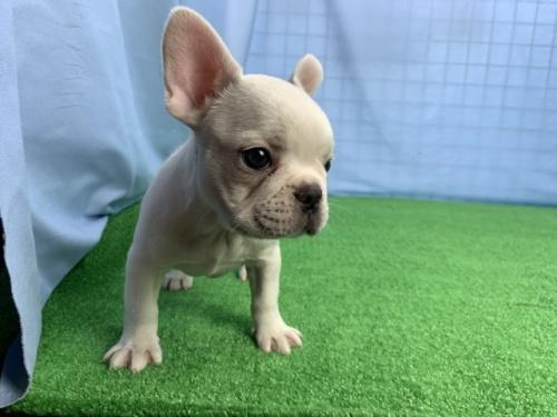 フレンチブルドッグの子犬(ID:1254911134)の2枚目の写真/更新日:2018-02-07