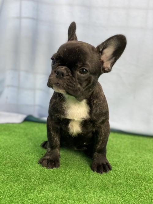 フレンチブルドッグの子犬(ID:1254911135)の3枚目の写真/更新日:2020-08-04