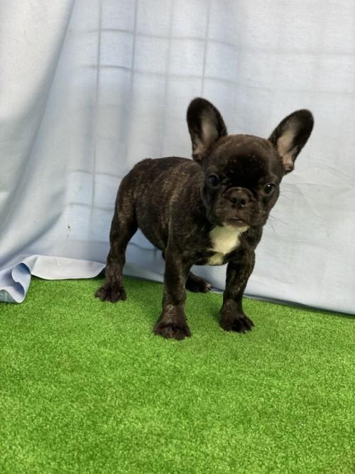 フレンチブルドッグの子犬(ID:1254911135)の4枚目の写真/更新日:2020-08-04
