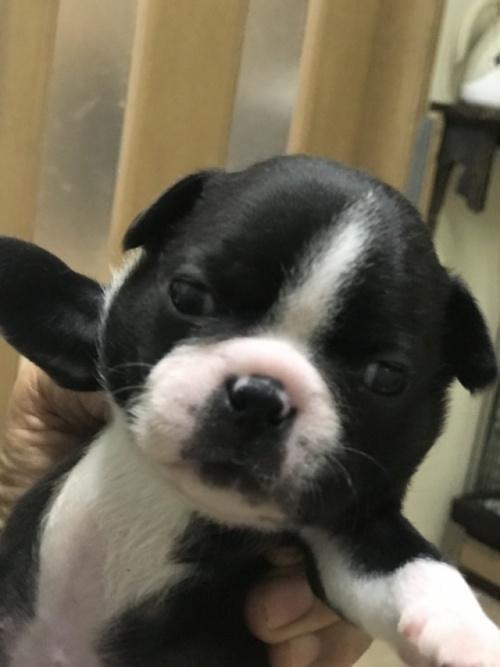 ボストンテリアの子犬(ID:1254911136)の1枚目の写真/更新日:2018-12-30