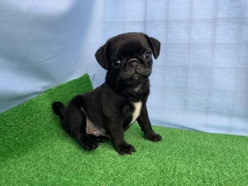 パグの子犬(ID:1254911137)の2枚目の写真/更新日:2018-03-05