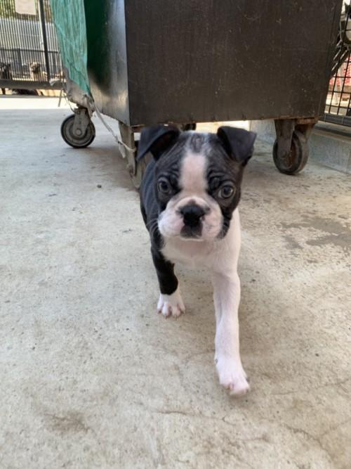 ボストンテリアの子犬(ID:1254911139)の2枚目の写真/更新日:2019-03-19