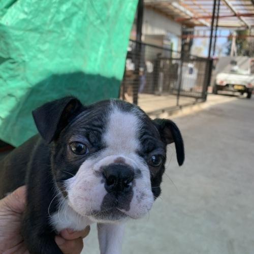 ボストンテリアの子犬(ID:1254911139)の3枚目の写真/更新日:2019-03-19
