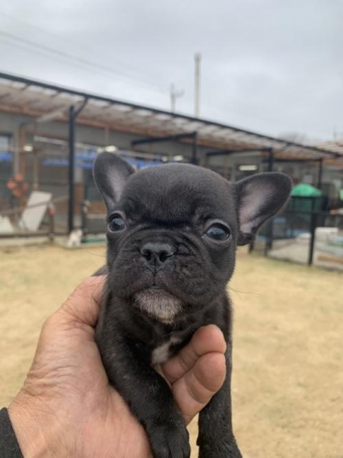 パグの子犬(ID:1254911141)の1枚目の写真/更新日:2019-02-04
