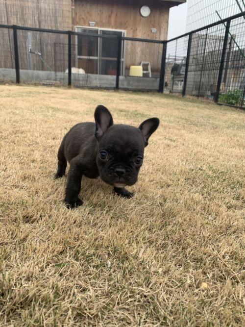 パグの子犬(ID:1254911141)の2枚目の写真/更新日:2019-02-04