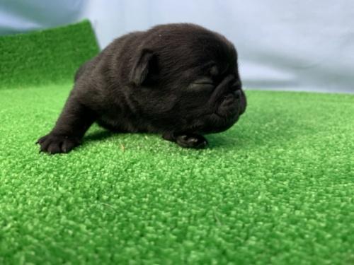 パグの子犬(ID:1254911142)の2枚目の写真/更新日:2020-01-20