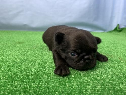 パグの子犬(ID:1254911143)の2枚目の写真/更新日:2020-01-04