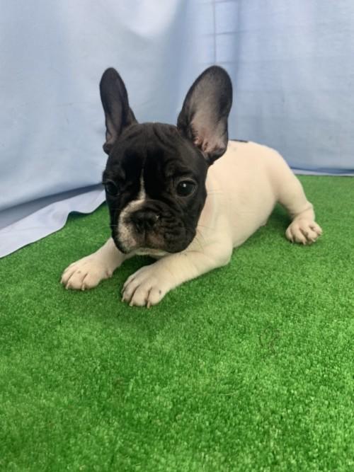 フレンチブルドッグの子犬(ID:1254911145)の1枚目の写真/更新日:2018-04-11