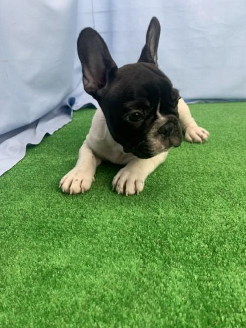 フレンチブルドッグの子犬(ID:1254911145)の2枚目の写真/更新日:2018-04-11