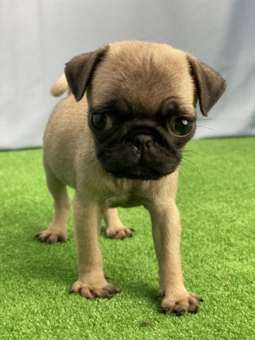 パグの子犬(ID:1254911146)の1枚目の写真/更新日:2020-10-07