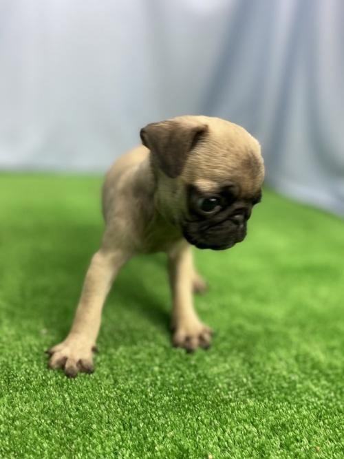 パグの子犬(ID:1254911146)の2枚目の写真/更新日:2020-01-20