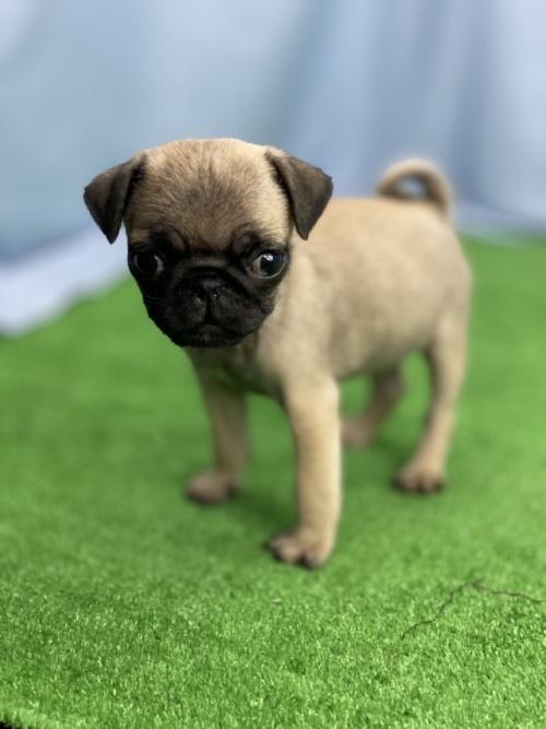 パグの子犬(ID:1254911146)の3枚目の写真/更新日:2020-10-07