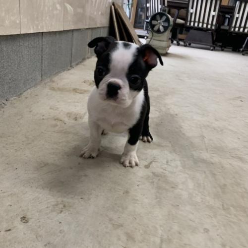 ボストンテリアの子犬(ID:1254911147)の1枚目の写真/更新日:2019-04-22