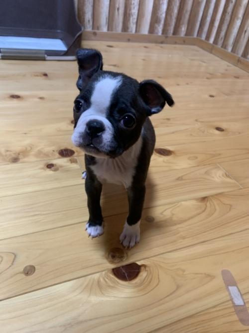 ボストンテリアの子犬(ID:1254911150)の2枚目の写真/更新日:2019-04-12