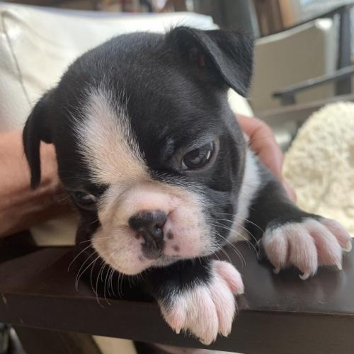 ボストンテリアの子犬(ID:1254911151)の1枚目の写真/更新日:2019-07-15