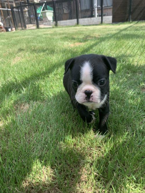 ボストンテリアの子犬(ID:1254911151)の2枚目の写真/更新日:2019-07-15