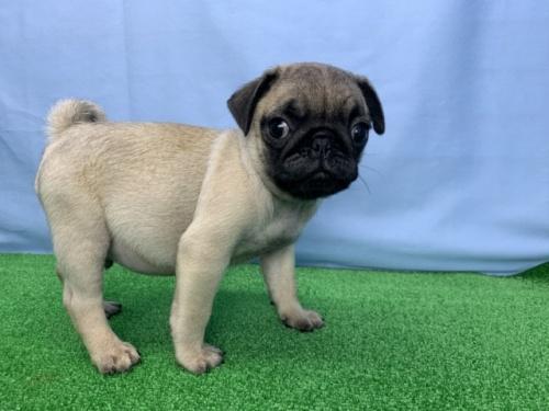 パグの子犬(ID:1254911152)の1枚目の写真/更新日:2018-04-18