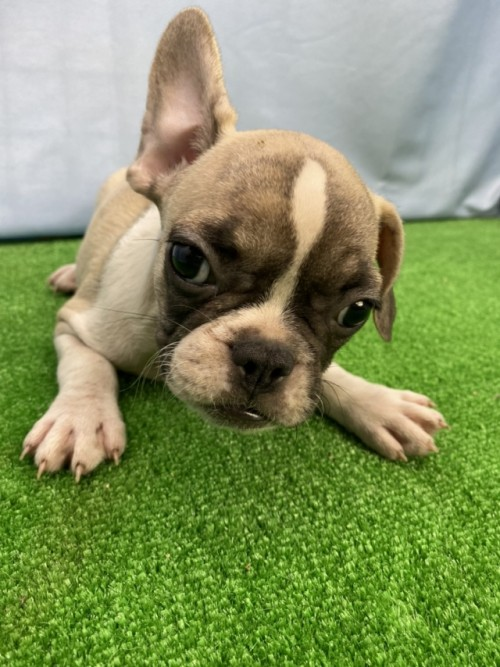 フレンチブルドッグの子犬(ID:1254911153)の1枚目の写真/更新日:2018-04-18