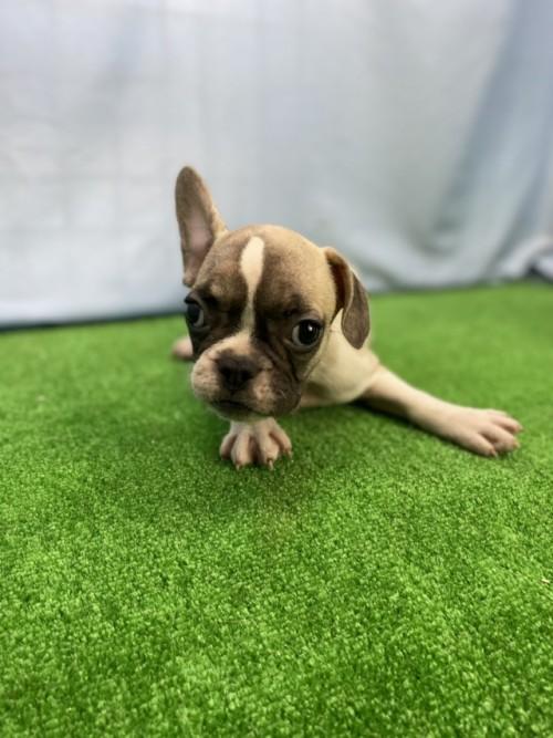 フレンチブルドッグの子犬(ID:1254911153)の2枚目の写真/更新日:2020-09-05