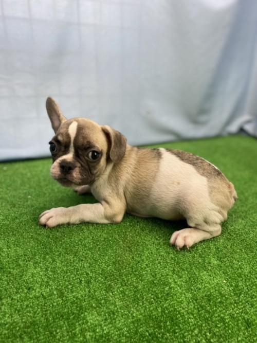 フレンチブルドッグの子犬(ID:1254911153)の3枚目の写真/更新日:2020-09-05