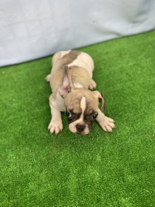 フレンチブルドッグの子犬(ID:1254911153)の4枚目の写真/更新日:2020-10-07
