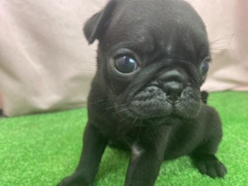 パグの子犬(ID:1254911154)の1枚目の写真/更新日:2018-04-25