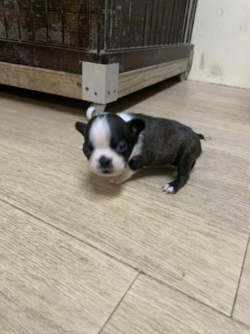 ボストンテリアの子犬(ID:1254911155)の2枚目の写真/更新日:2019-07-15