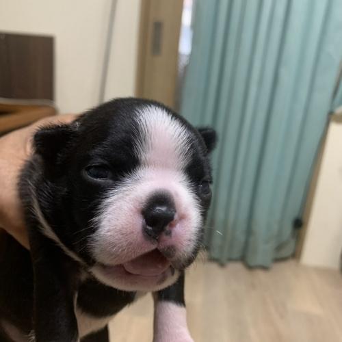 ボストンテリアの子犬(ID:1254911156)の1枚目の写真/更新日:2019-07-15