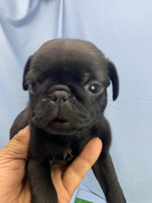 パグの子犬(ID:1254911157)の1枚目の写真/更新日:2020-09-05