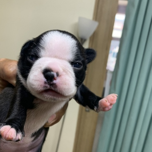 ボストンテリアの子犬(ID:1254911158)の1枚目の写真/更新日:2019-07-15