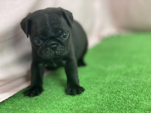 パグの子犬(ID:1254911159)の4枚目の写真/更新日:2021-07-22