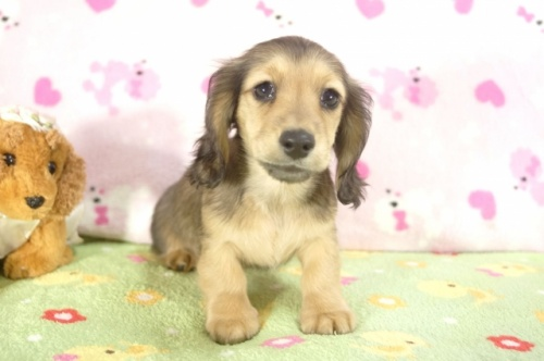 ミニチュアダックスフンド(ロング)の子犬(ID:1255011210)の1枚目の写真/更新日:2017-01-17