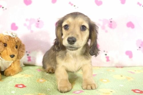 ミニチュアダックスフンド(ロング)の子犬(ID:1255011210)の2枚目の写真/更新日:2017-01-17