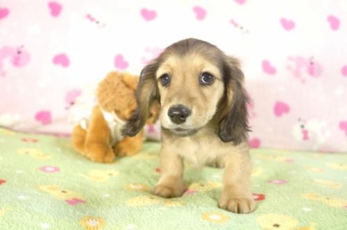 ミニチュアダックスフンド(ロング)の子犬(ID:1255011210)の3枚目の写真/更新日:2017-01-17