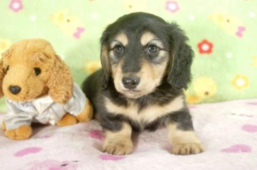 ミニチュアダックスフンド(ロング)の子犬(ID:1255011233)の2枚目の写真/更新日:2017-02-08