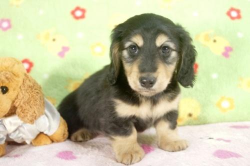 ミニチュアダックスフンド(ロング)の子犬(ID:1255011233)の3枚目の写真/更新日:2017-02-08