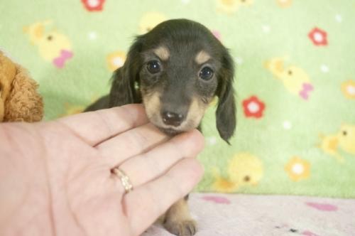 ミニチュアダックスフンド(ロング)の子犬(ID:1255011234)の1枚目の写真/更新日:2017-02-08
