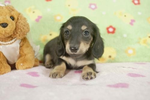 ミニチュアダックスフンド(ロング)の子犬(ID:1255011234)の2枚目の写真/更新日:2017-02-08