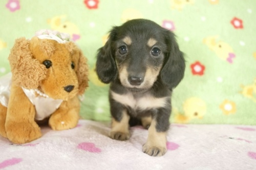 ミニチュアダックスフンド(ロング)の子犬(ID:1255011234)の3枚目の写真/更新日:2017-02-08