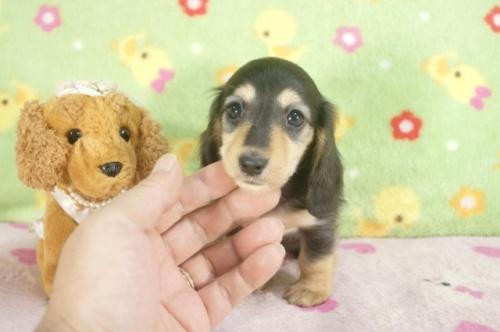 ミニチュアダックスフンド(ロング)の子犬(ID:1255011235)の1枚目の写真/更新日:2017-02-08