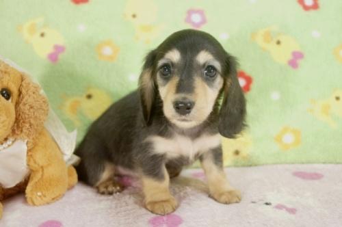 ミニチュアダックスフンド(ロング)の子犬(ID:1255011235)の3枚目の写真/更新日:2017-02-08