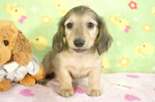 ミニチュアダックスフンド(ロング)の子犬(ID:1255011236)の1枚目の写真/更新日:2017-02-08