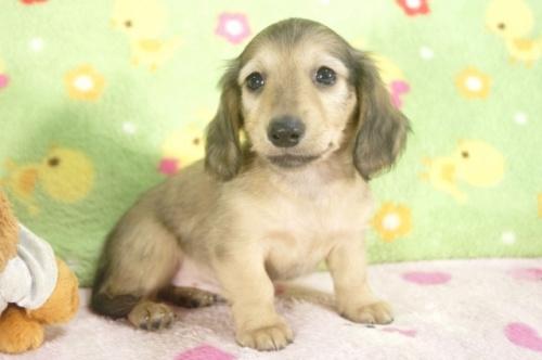 ミニチュアダックスフンド(ロング)の子犬(ID:1255011236)の2枚目の写真/更新日:2017-02-08