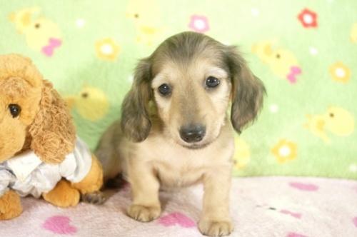 ミニチュアダックスフンド(ロング)の子犬(ID:1255011236)の3枚目の写真/更新日:2017-02-08