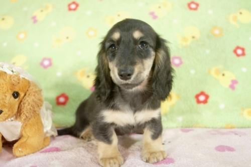 ミニチュアダックスフンド(ロング)の子犬(ID:1255011237)の2枚目の写真/更新日:2017-03-14