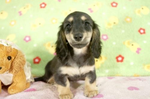 ミニチュアダックスフンド(ロング)の子犬(ID:1255011237)の3枚目の写真/更新日:2017-03-14