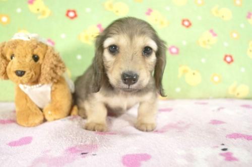 ミニチュアダックスフンド(ロング)の子犬(ID:1255011238)の1枚目の写真/更新日:2017-02-21