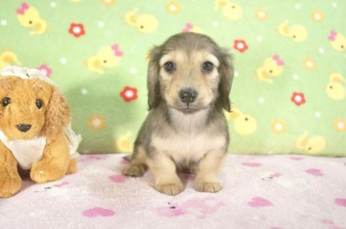 ミニチュアダックスフンド(ロング)の子犬(ID:1255011238)の2枚目の写真/更新日:2017-02-21