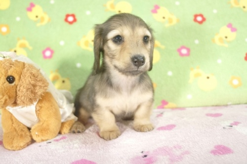 ミニチュアダックスフンド(ロング)の子犬(ID:1255011238)の3枚目の写真/更新日:2017-02-21
