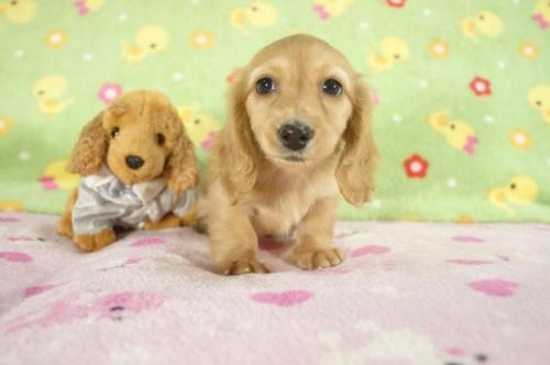 カニンヘンダックスフンド(ロング)の子犬(ID:1255011239)の1枚目の写真/更新日:2017-03-14